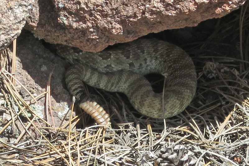 Largest Snake you've seen?-rattlesnake-l.jpg