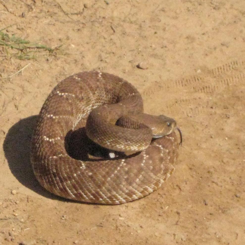 Who's run over a Rattler?  now that its snake season-rattlesnake3.jpg
