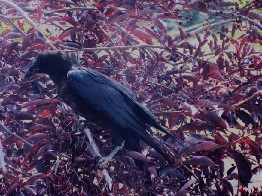 The Bird Thread...-raven.jpg