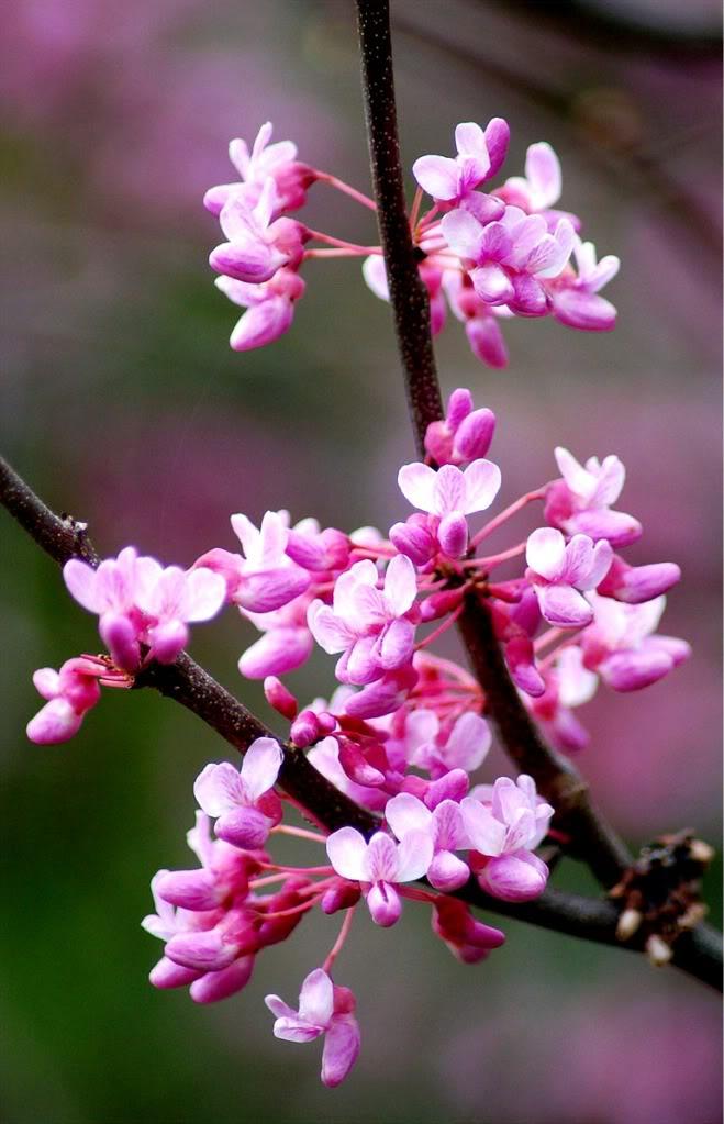 Hi Today is 4/20-red_bud_flower651.jpg