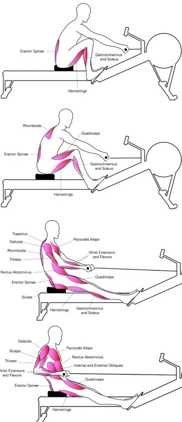 Fitness: Indoor Rowing mixed with riding.-rowingmuscles.jpg