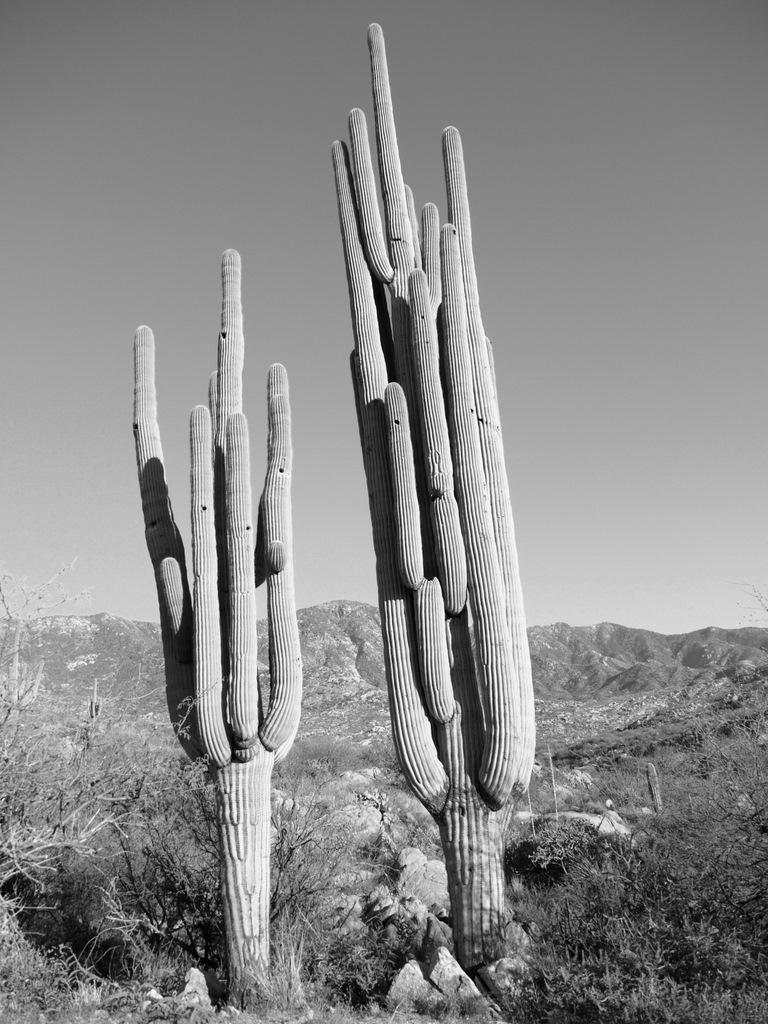 Gila Monster-saguaro-siblings.jpg