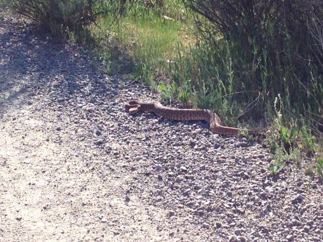 Rattlesnakes!!!!!!-securedownload.jpeg