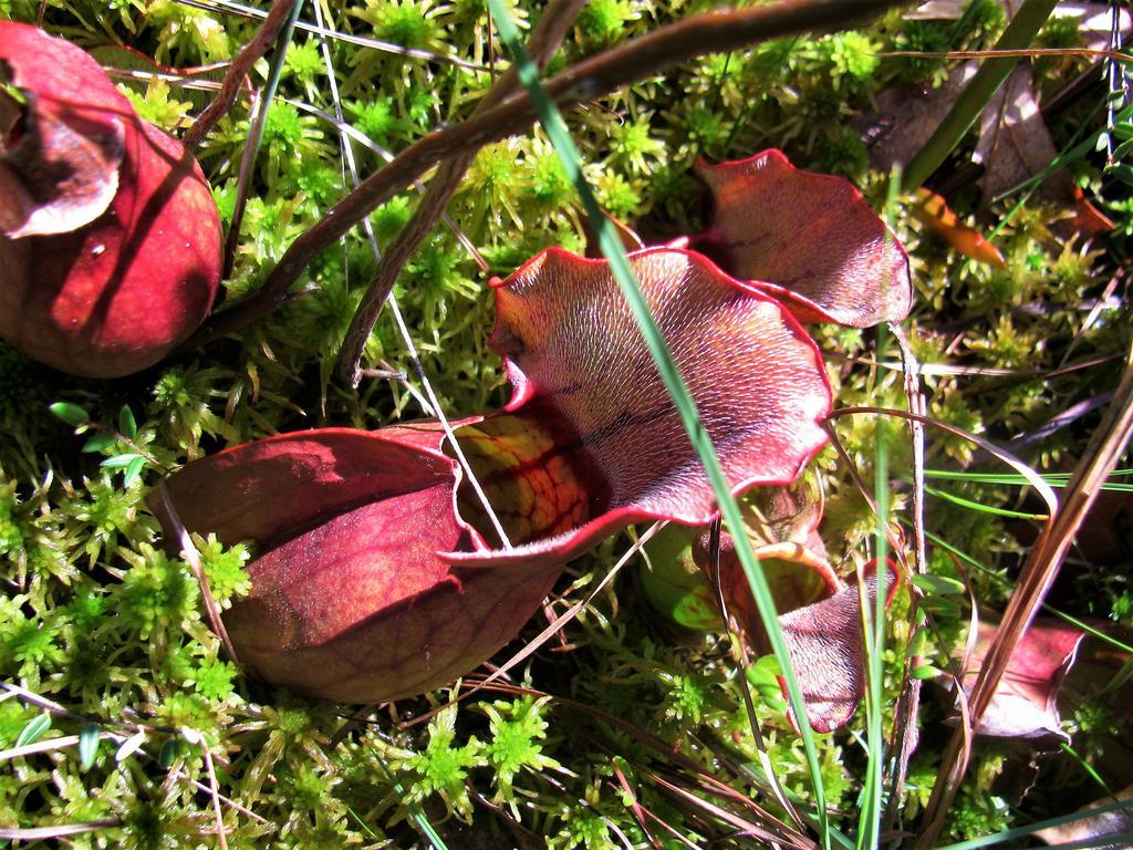 Botany Thread-serracenia-purpurea-2-.jpg
