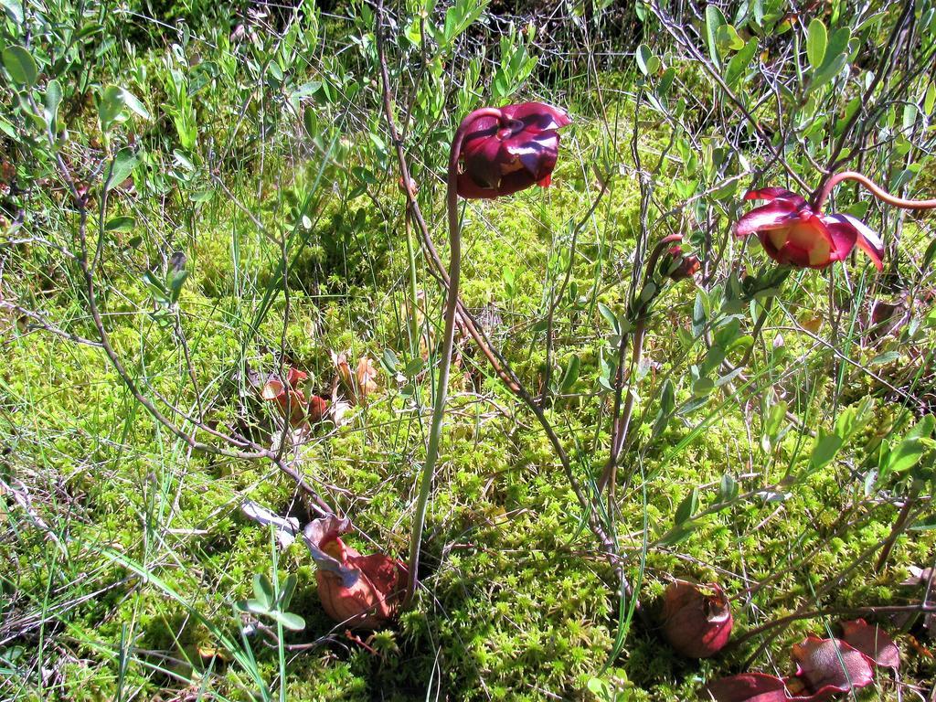 Botany Thread-serracenia-purpurea-flowering.jpg