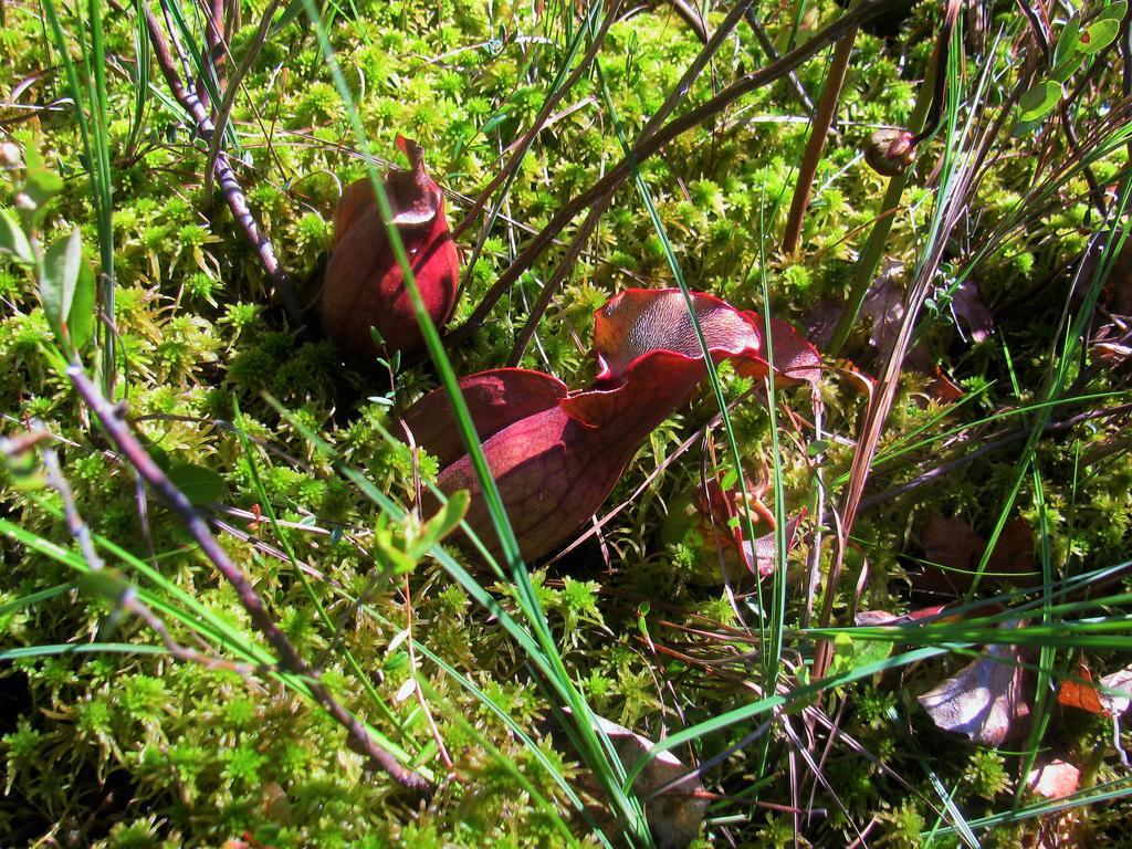Botany Thread-serracenia-purpurea.jpg