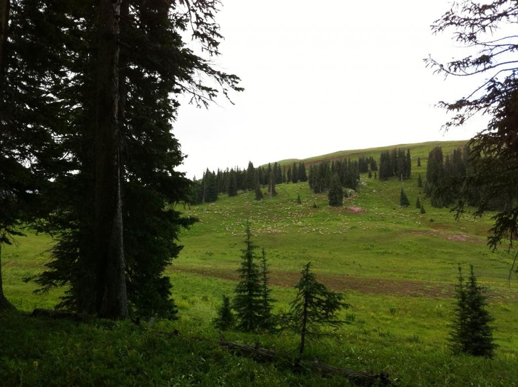 Sheep Guard Dogs and Mountain Bikers-sheep.jpg