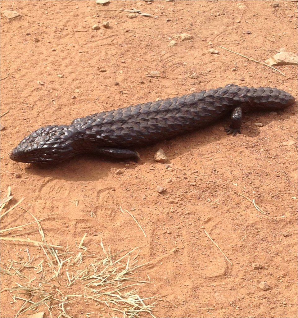 Wildlife you have seen on trail...post your pics...-shingleback-13-april-13.jpg