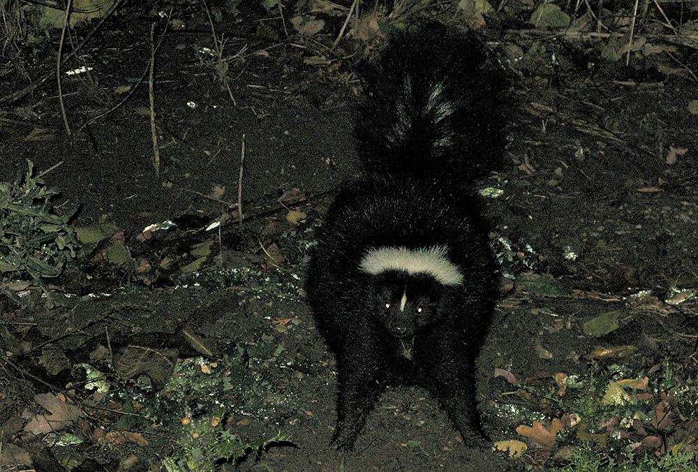 Forget Mountain Lions, I got skunked tonight.....-skunk.jpg