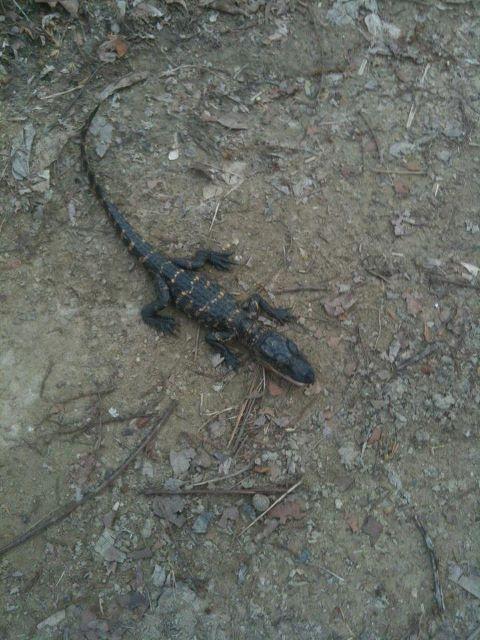 Spillway - Norco,La-small-gator2.jpg