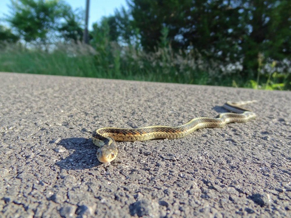 Wildlife you have seen on trail...post your pics...-smv_gartersnake.jpg