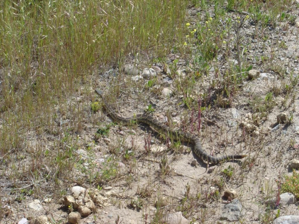 Who's run over a Rattler?  now that its snake season-snake.jpg