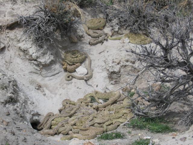 RattleSnakes?-snake-pit.jpg