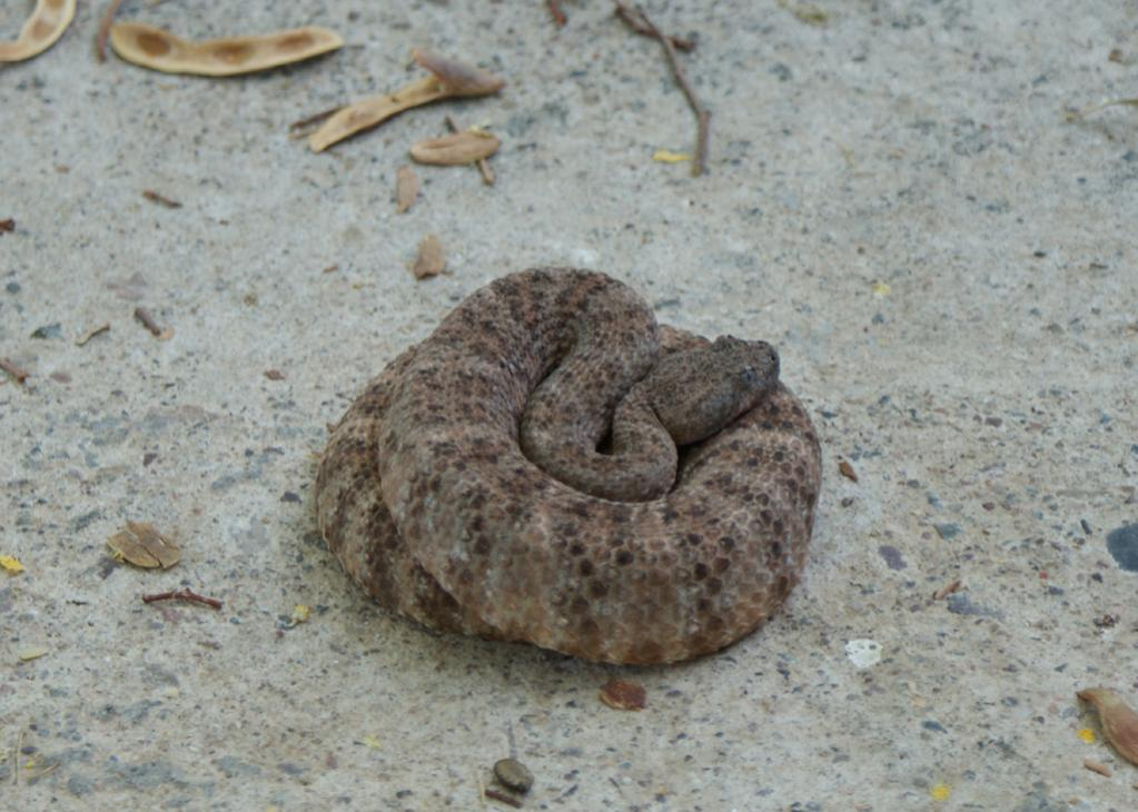 umm,, so when you get a diamondback in your back yard...-snakecropped2.jpg