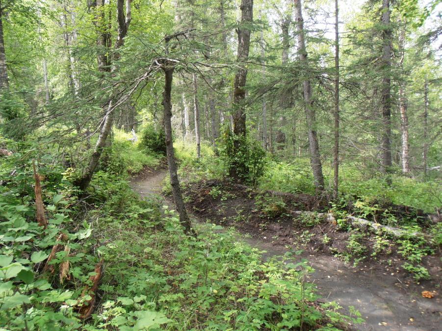 New singletrack near Palmer-speciman-tree-bearberry-bluff.jpg