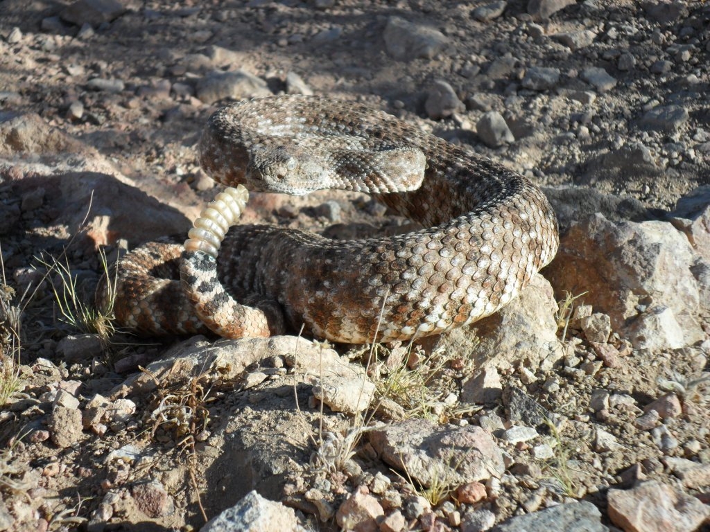 Snakes, snakes...and more snakes-speckled-rattler-par-none.jpg