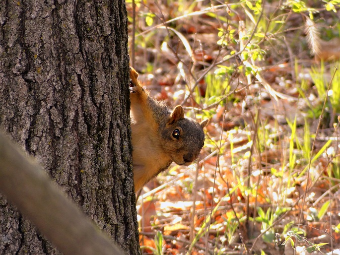 Wildlife you have seen on trail...post your pics...-squirreltree1.jpg