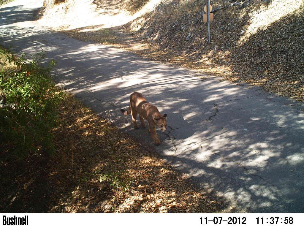 So you're a cougar and you need to cross the highway-sv04-11.17.12-mountain-lion-2-2.jpg