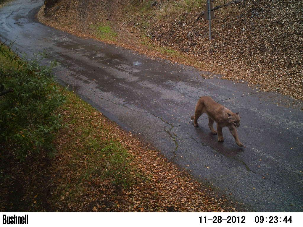 So you're a cougar and you need to cross the highway-sv04-11.28.12-2-2.jpg