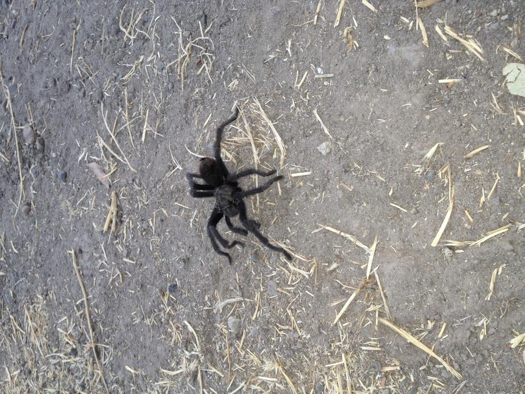 NorCal Tarantulas!-tarantula.jpg
