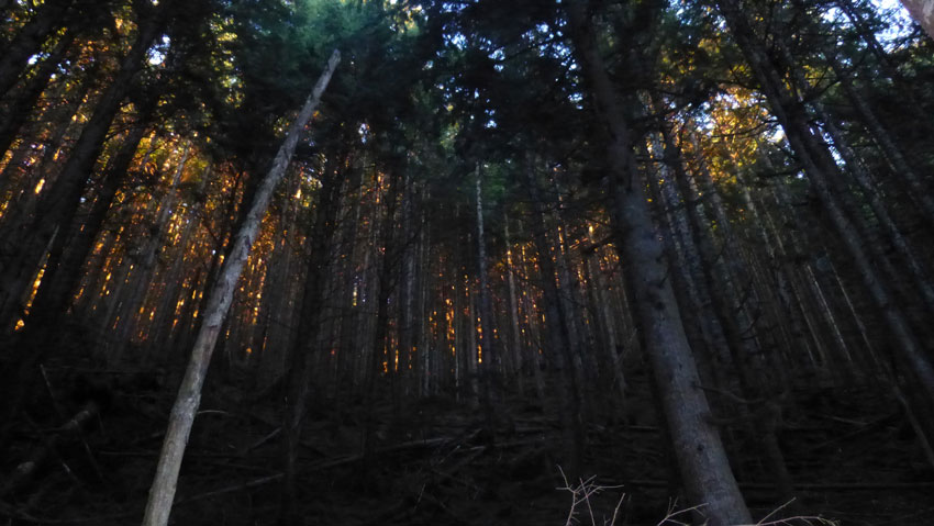 Silent Swamp sawyers assist last two fridays-tiger-sun-through-trees.jpg