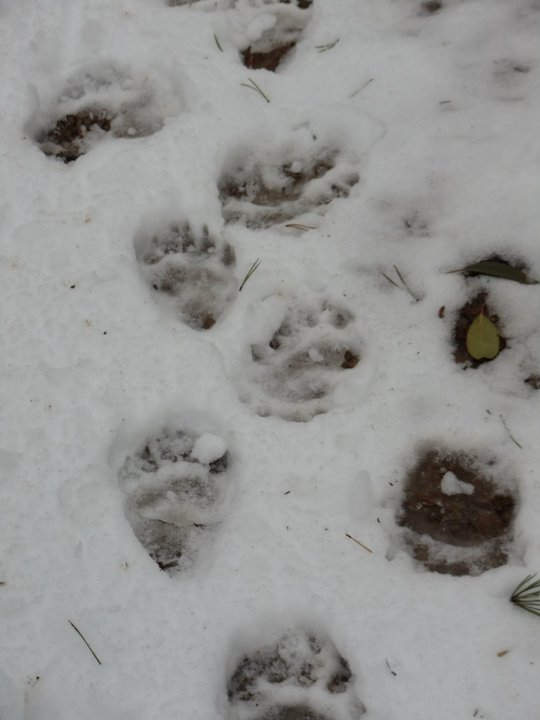 Runnin' w/ the bears on Heartbreak-tracks-snow-january-2010-2.jpg