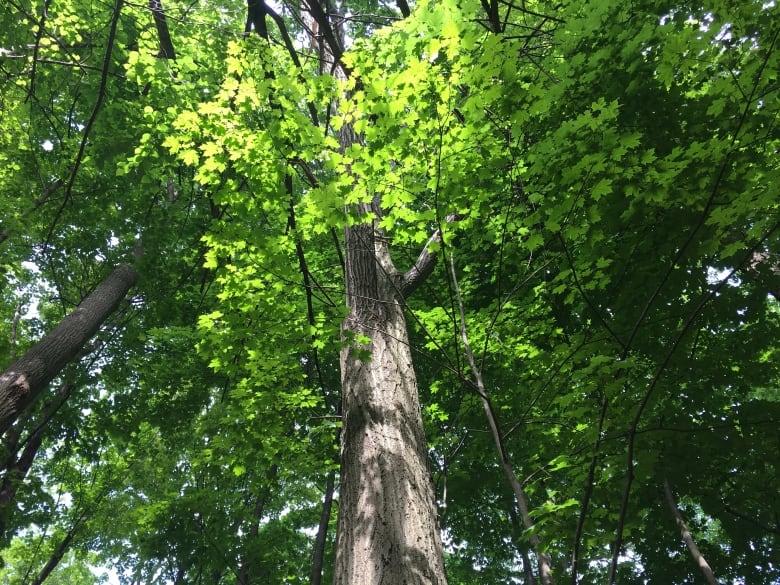 Invasive Species-tree-canopy-ravines.jpg