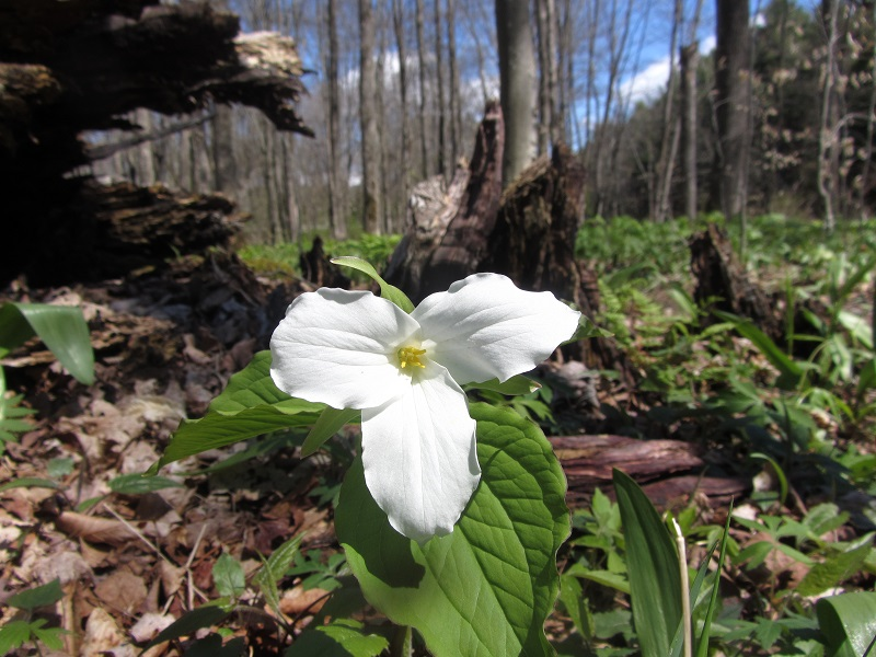 Today's Pic or Story-trillium.jpg