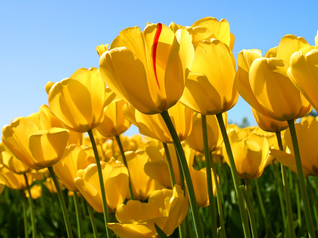 photo upload test-tulips.jpg