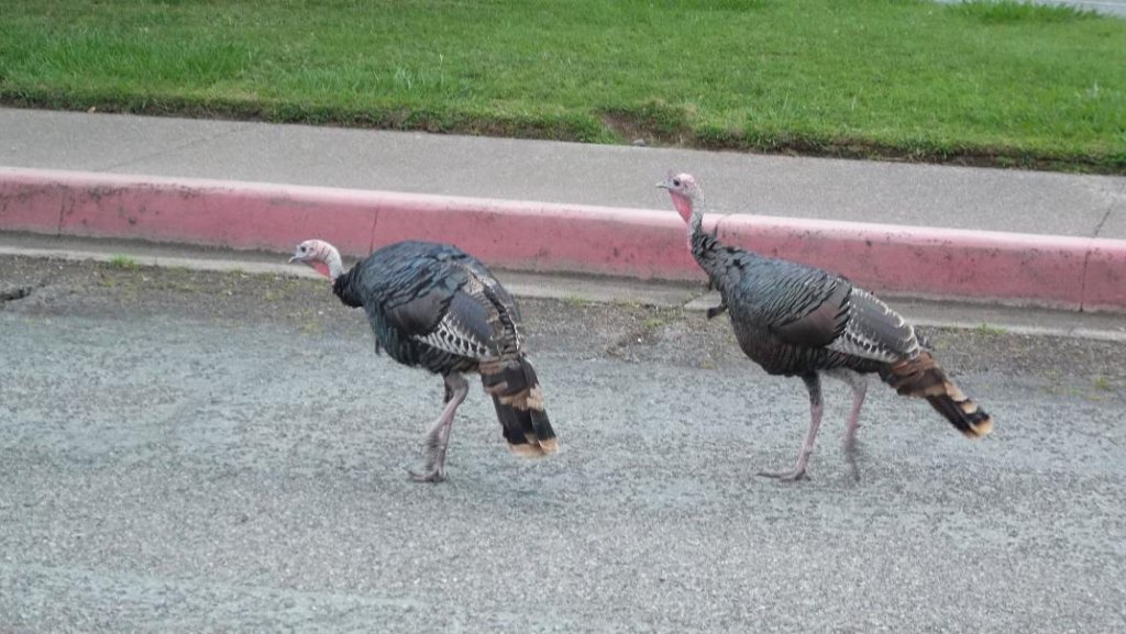 Wildlife you have seen on trail...post your pics...-turkeys03.jpg