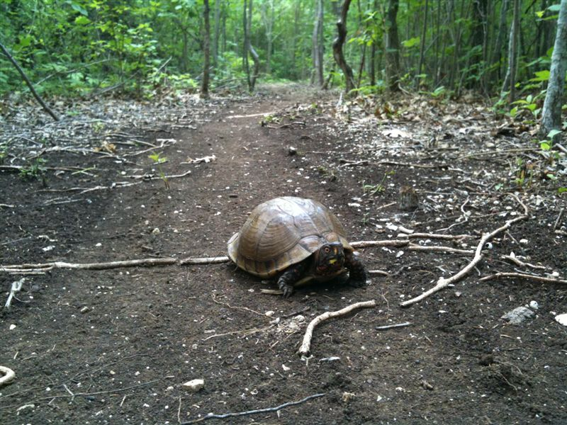 Wildlife you have seen on trail...post your pics...-turtle.jpg