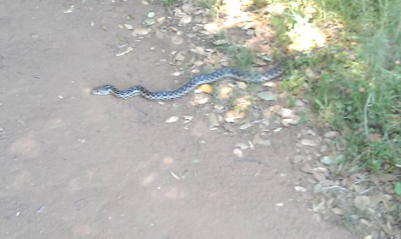 Who's run over a Rattler?  now that its snake season-uploadfromtaptalk1334024182763.jpg
