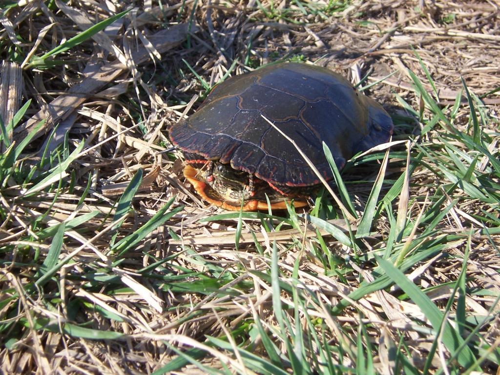Wildlife you have seen on trail...post your pics...-web-turtle.jpg