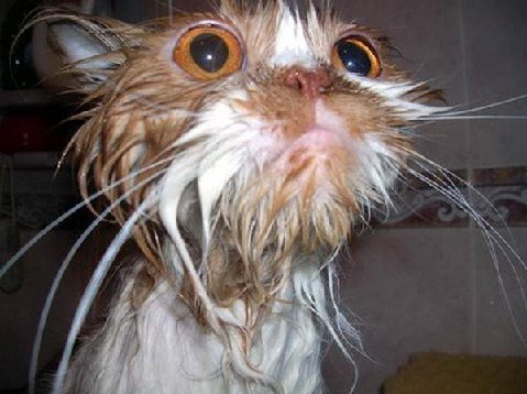 Name:  wet-cat.jpg