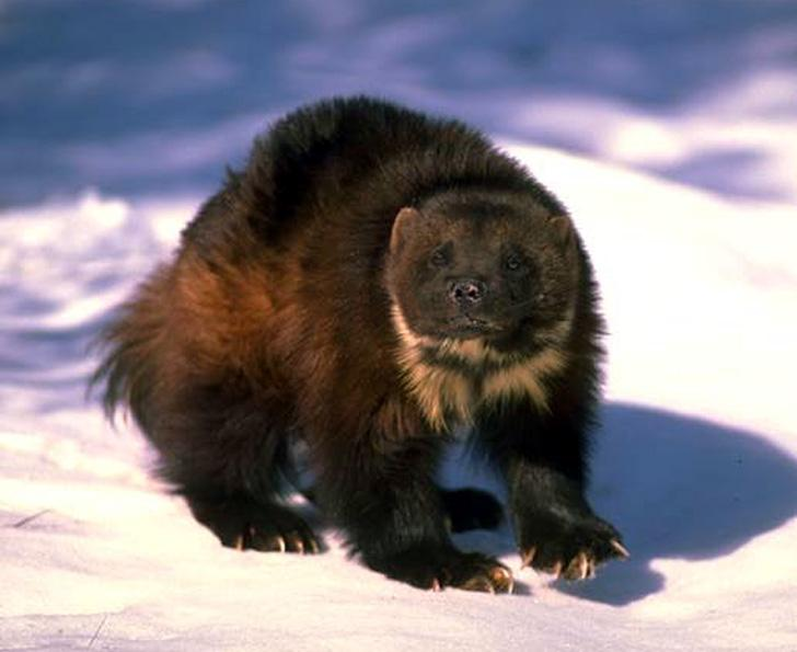 I know, not possible, but I swear I saw a Wolverine on Skyliners just north of Phil's-wolverinesnow.jpg