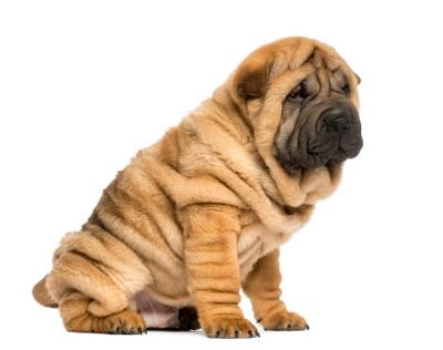 Name:  wrinkled-shar-pei.jpg Views: 2938 Size:  39.2 KB