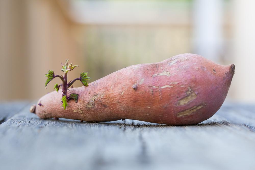 Vegetarian and Vegan Passion-yam-sprouting.jpg